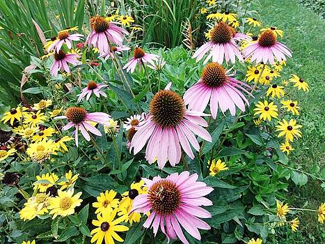 Cone Flowers by Grant Marchand