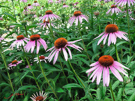 Cone Flowers by John OBrien