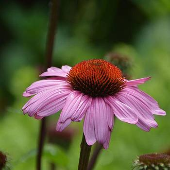 Eve Tamminen - Coneflower