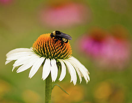 Coneflower and Bee by Phyllis Peterson