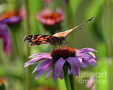 Cindy Treger - Coneflower And Painted Lady