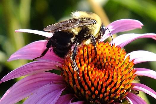Cindy Treger - Coneflower And Bee Macro