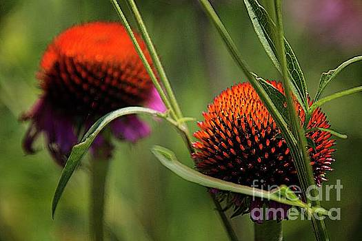Coneflower centers by Jim Wright