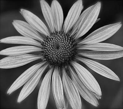 Coneflower in Black and White by Melissa Lane