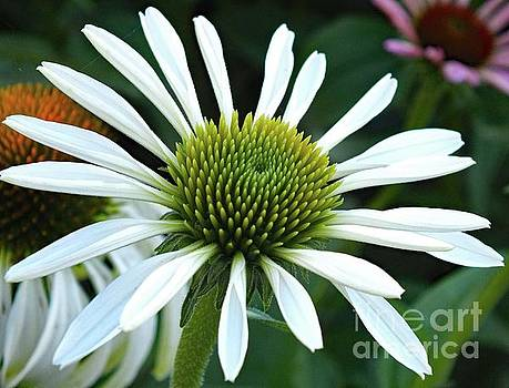 Cindy Treger - Coneflower - Snow White Perfection