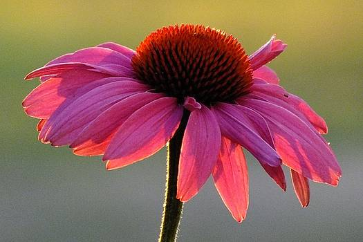 Cindy Treger - Coneflower At Sunset