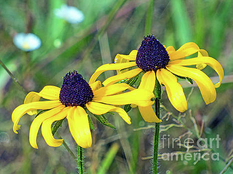 Coneflowers by Dragonfleyes Photography and Creations