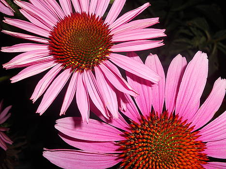 Cindy Treger - Double The Viewing Pleasure - Coneflowers