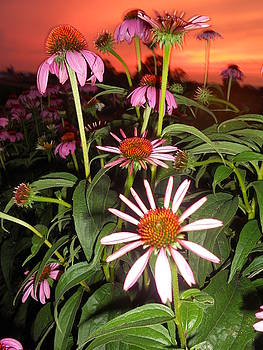 Cindy Treger - Coneflowers And Amazing Sunset