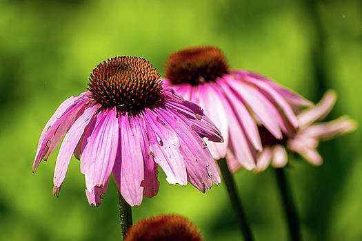 Coneflowers by Patrick Collins