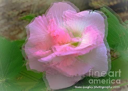 Tami Quigley - Confederate Rose