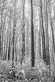 Contrasted Forest of Snow  by Andrew Kazmierski