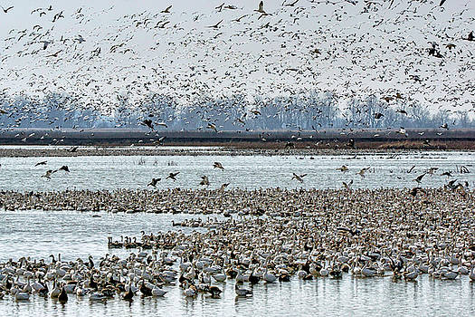 Nikolyn McDonald - Controlled Chaos - Snow Geese