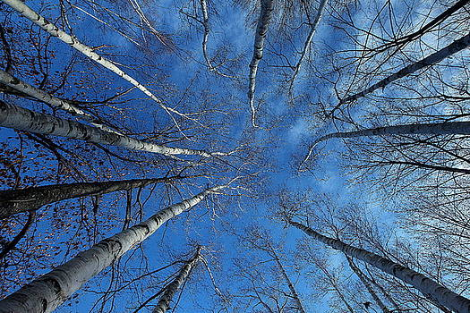 Converging White Birches by Linda Edgecomb