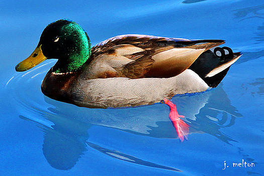 Cool as a Duck by Jack Melton