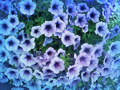 Aimee L Maher ALM GALLERY - Cool Blue Purple Petunias