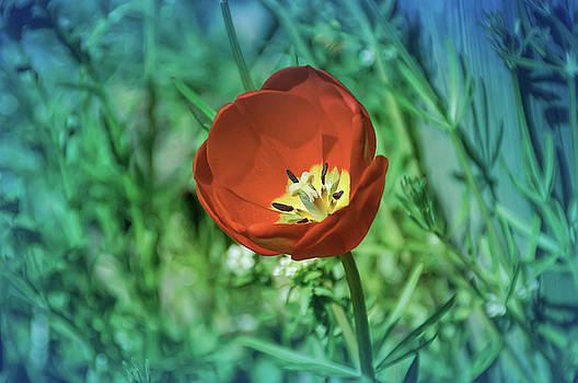 Aimee L Maher ALM GALLERY - Cool Blue Red Tulip