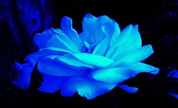 Cool Blue Rose  by Daniele Smith
