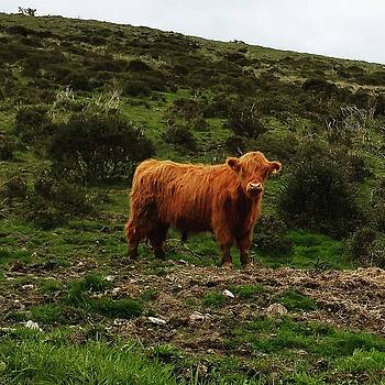 Cool Cow by Kenny Flannery