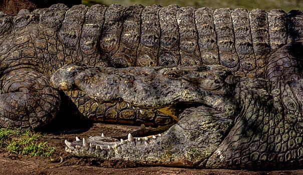 Cooling Crocodile by Tito Santiago