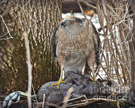 Cooper Hawk by Kathy M Krause