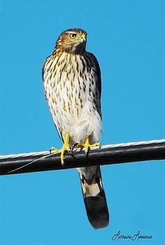 Coopers Hawk 1 by Lorraine Louwerse
