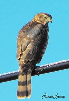 Coopers Hawk 2 by Lorraine Louwerse