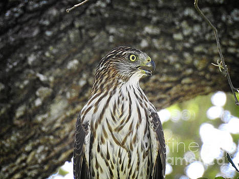 Coopers Hawk closeup by Ella Kaye Dickey
