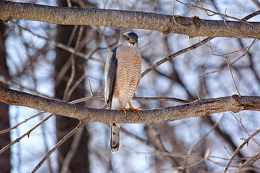 Cooper's Hawk by Eunice Gibb