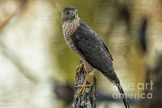 Cooper's Hawk by Geraldine DeBoer