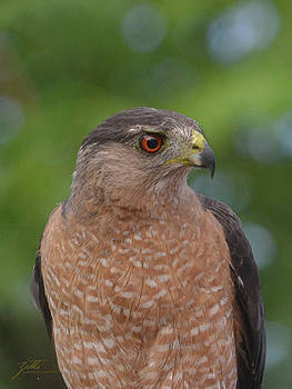 Cooper's Hawk II by Suzette Kallen