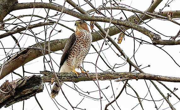 Cooper's Hawk in Old American Elm Tree by William Jobes