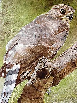 Coopers Hawk by Jodi Schneider