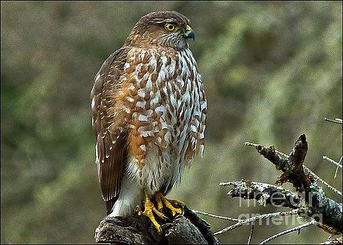 Coopers Hawk by Julia Hassett