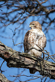 Coopers Hawk by Patrick Shupert