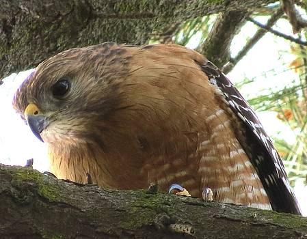 Cooper's Hawk by Phil Bearce