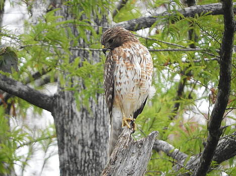 Cooper's Hawk by Red Cross