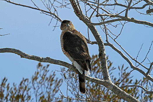 Coopers Hawk by Stacey Steinberg