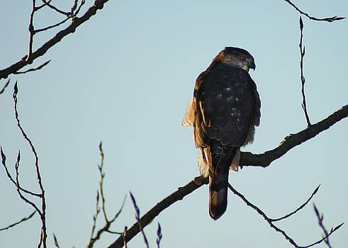 Cooper's Hawk by Steve Karol