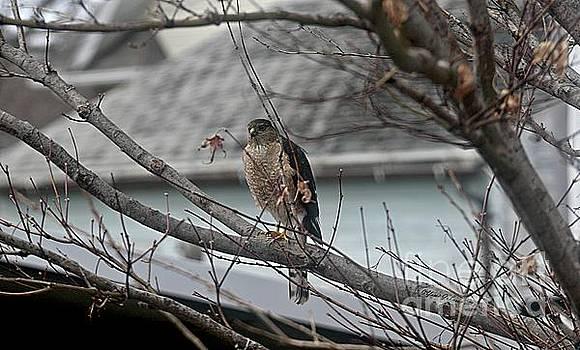 Cooper's Hawk by Yumi Johnson