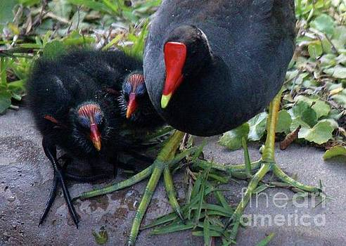 Paulette Thomas - Coot With Her Babies