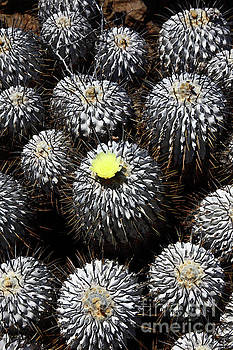 James Brunker -  Copiapoa Cactus in Flower Chile