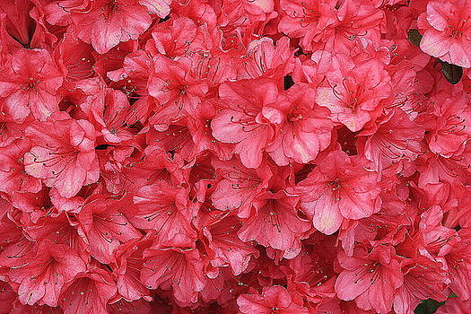 Coral Azaleas in Full Glory by Dora Sofia Caputo Photographic Design and Fine Art