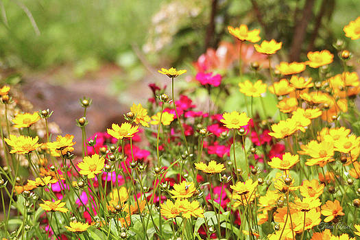 Coreopsis Garden by Trina Ansel