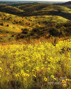 Tamyra Ayles - Coreopsis in the Arbuckles, Vertical