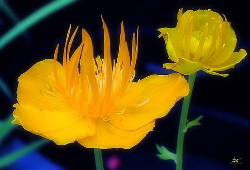Sam Davis Johnson - Coreopsis Magnificent