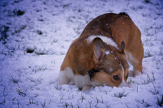 Corgi Nose Plant in Snow by Mick Anderson