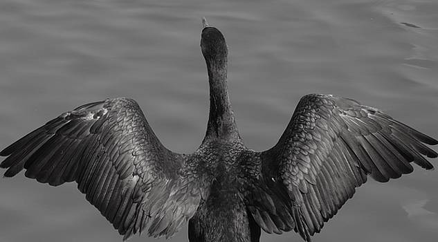 Cormorant 3 by Todd Sherlock