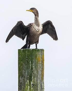 Cormorant Conducting by Steven Natanson