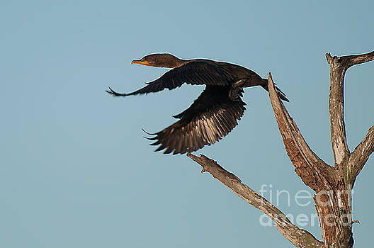 Photos By Cassandra - Cormorant in flight